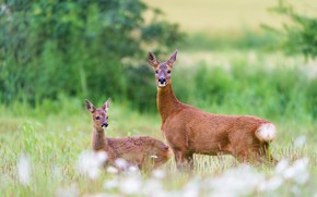 Picture field, nature, glade, two, baby, pair, deer, cub, mom, ROE, bokeh, deer