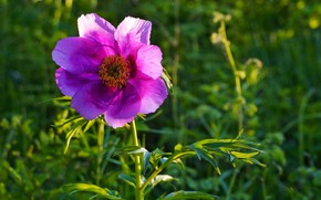 Picture forest, summer, sunset, Peony
