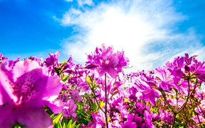 Picture clouds, flowers, blue, glade, bright, pink, the bushes, a lot, lilac, blue sky, Azalea, rhododendrons