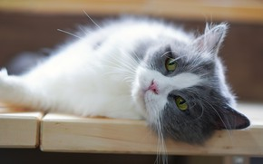 Picture cat, cat, look, face, kitty, portrait, blur, lies, kitty, green eyes, grey with white