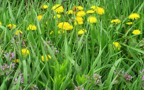 Picture grass, flowers, meadow, dandelions, spring 2018, Meduzanol ©