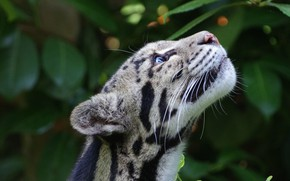 Picture muzzle, ocelot, looking up