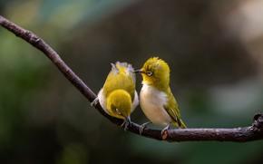 Picture nature, branch, birds, a couple, bokeh, white-eyed, white eye