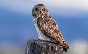 Picture the sky, owl, bird