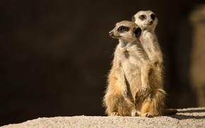 Picture look, light, pose, the dark background, stone, meerkats, pair, face, a couple, two, stand, two …