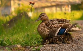 Picture summer, grass, birds, nature, children, comfort, duck, yard, ducklings, duck, Chicks, flower, mother, brood, under ...
