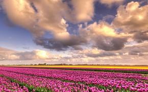 Picture field, the sky, clouds, flowers, beauty, positive, spring, yellow, space, tulips, pink, the beds, Netherlands, …