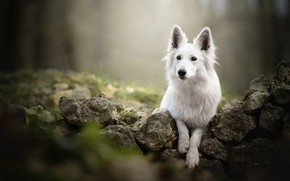 Picture stones, dog, bokeh, The white Swiss shepherd dog