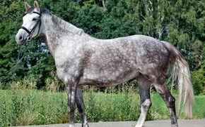 Picture nature, photo, horse, the grey horse