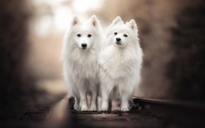 Picture rails, railroad, a couple, bokeh, two dogs, twins, The Japanese Spitz