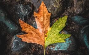 Picture macro, sheet, stones, leaf, maple