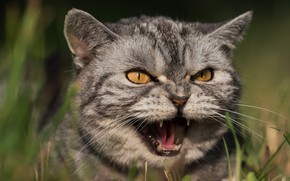 Picture cat, grass, cat, look, face, light, nature, green, grey, background, portrait, mouth, fangs, grin, evil, …