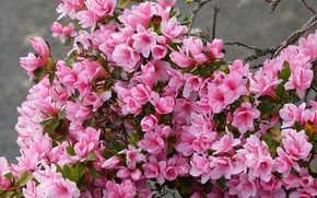 Picture flowers, branches, Bush, pink