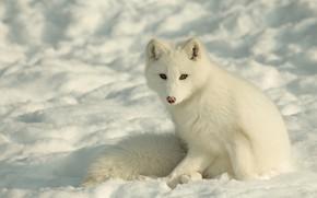Picture winter, face, snow, Fox, polar Fox
