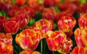Picture light, flowers, bright, spring, tulips, orange, flowerbed, bokeh