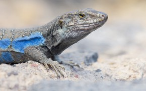 Picture look, lizard, light background, blue, yellow eyes, reptile