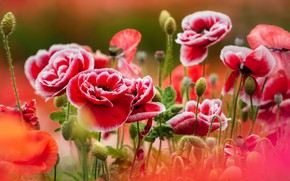 Picture summer, macro, flowers, nature, Maki, buds, Takashi Ima Leave