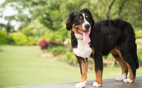 Picture language, look, face, nature, pose, Park, dog, is, Bernese mountain dog