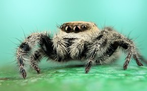Picture eyes, macro, pose, background, black and white, legs, spider, hairy, striped, turquoise, jumper, jumper, spider, …