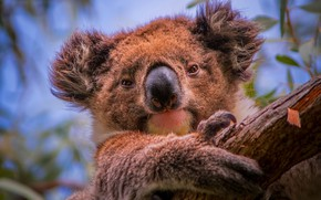 Picture tree, portrait, face, Koala