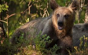 Picture branches, nature, animal, predator, bear, teen, Alexander Perov