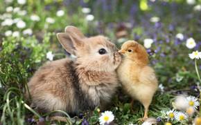 Picture grass, flowers, animals, chamomile, rabbit, chicken