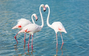 Picture birds, beak, Flamingo, neck
