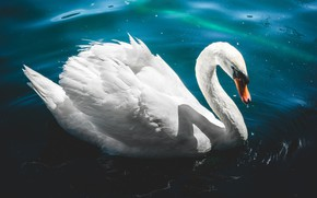 Picture white, water, light, blue, background, blue, bird, Swan, pond, handsome