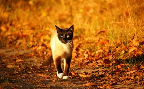 Picture autumn, blurred background, Siamese cat