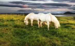 Picture horses, horse, pasture, meadow, pair, white, two