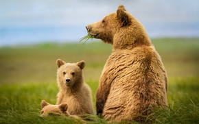 Picture nature, animals, bears
