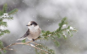 Picture snow, bird, branch, Ontario, canadian Jay, canadian range