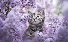 Picture flowers, nature, kitty, lilac, Natalie Gross