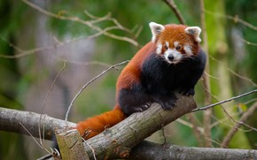 Picture branches, nature, pose, tree, red Panda, log, face, sitting, green background, red Panda