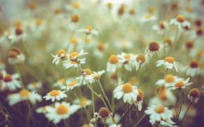 Picture flowers, nature, chamomile
