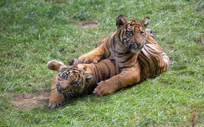 Picture grass, glade, the game, kids, a couple, tigers, the cubs, lawn, two, tiger, tiger