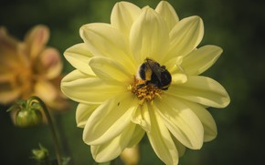 Picture flower, macro, insect, bumblebee