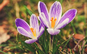 Picture flowers, crocuses, pink, a couple, Duo, two