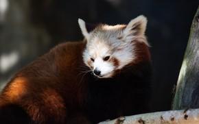 Picture face, light, glare, the dark background, tree, portrait, red Panda, sitting, red Panda