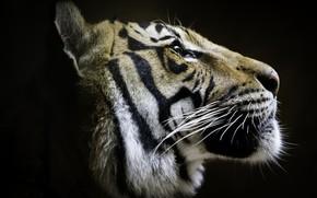 Picture tiger, profile, handsome