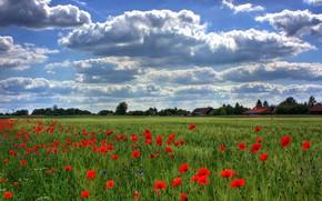 Picture field, summer, the sky, clouds, blue, rye, Maki, village, houses, ears, cereals, poppy field, rye …
