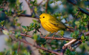 Picture leaves, branches, yellow, bird, spring, kidney, a woodland songster