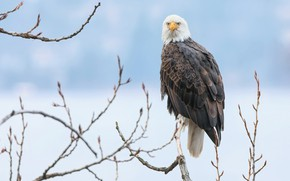 Picture winter, snow, branches, bird, blue background, predatory, bald eagle