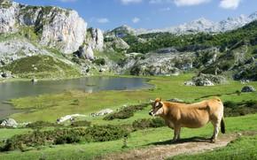 Picture greens, grass, mountains, lake, stones, rocks, hills, shore, vegetation, cow, pasture, pond, bull