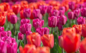 Picture light, flowers, bright, spring, tulips, red, pink, buds, flowerbed, a lot, bokeh, plantation, Tulip field