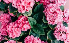 Picture leaves, flowers, pink, a lot, bokeh, hydrangea