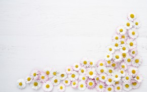 Picture flowers, background, Daisy