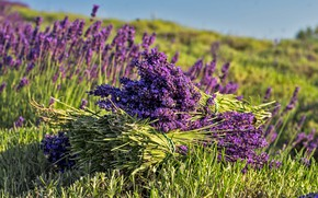 Picture field, summer, flowers, lavender