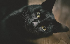 Picture muzzle, black cat, looking at the camera