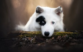 Picture look, face, dog, log, bokeh, The Yakutian Laika
